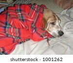 dog lies on sofa under plaid - stock photo