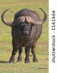 Cape Buffalo portrait - stock photo