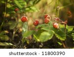 Wild strawberry on forest sunny field. Close-up. - stock photo