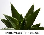 isolated nature aloe close up - stock photo