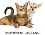 The puppy chihuahua and cat in studio on a neutral background - stock photo