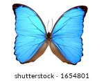 A true Morpho Blue Butterfly (Morpho menelaus); isolated preserved specimen. 12MP camera. - stock photo