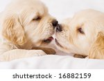 Two small retriver puppies lying face to face - stock photo