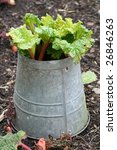 rhubarb growing in an old bucket - stock photo