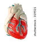 This is a medical (anatomically correct) model of the human heart, showing the ventricles and major vessels (aorta, other veins and arteries). - stock photo