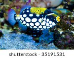 Clown Trigger Fish in Aquarium - stock photo