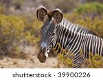 single detail of a grevys zebra in the setting sun on safari in the samburu national park ,kenya - stock photo