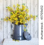 yellow forsythia in old large coffee pot - stock photo