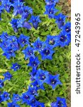 Blooming Stemless gentian /Gentiana acaulis/ - stock photo