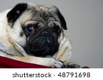 Cute pug face in the summer day - stock photo
