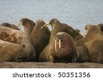 Walruses in the High Arctic around Svalbard - stock photo