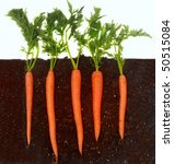 Organic carrots growing in rich dark dirt - stock photo