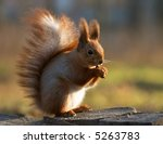Red squirrel siting on the stump and eating a nut - stock photo