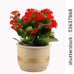 Red flowering pot plant - stock photo