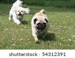 Pug with stick being chased by Shi Tzu. - stock photo