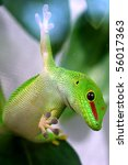 GIANT DAY GECKO PHELSUMA MADAGASCARIENSIS GRANDIS - stock photo