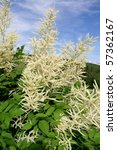 Goatsbeard - stock photo