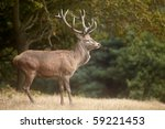 Red deer in autumn forest - stock photo