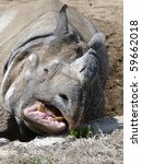 Rhinoceros stretching his snout for grass. - stock photo