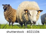 Sheep on grass with blue sky. One brown, one white looking at the lens - stock photo