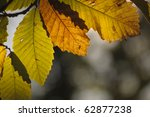 autumn leaves in chestnut woods - stock photo