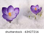 Violet crocuses flowers on snow white background - stock photo