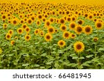 Ripe Sanflower on the  field - stock photo