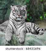 WHITE TIGER on a rock in zoo - stock photo
