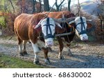 Pair of oxen with halter yoked together ready to pull a load. Traditionally, a yoke is made of a wooden material. - stock photo