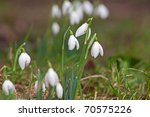snow drop group in winter - stock photo