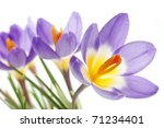 Crocus Tricolor in the Iris family, macro - stock photo