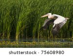White Pelican in flight over danube delta - stock photo