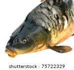 Fish carp isolated on a white background - stock photo