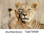 Lion cub portrait, Serengeti National Park, Tanzania, East Africa - stock photo