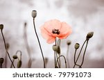 Field of red corn poppy flowers in early summer - stock photo
