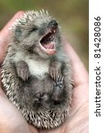 Hedgehog lying in human hands, yawning. - stock photo