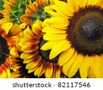 Beautiful fresh yellow Sunflower with petals closeup. - stock photo