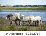 Horses from Camargue, France. - stock photo