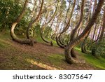 Curved forest reserve in Poland - stock photo