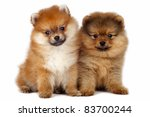 Two Pomeranian Spitz puppy  on a white background - stock photo