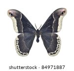 Male Promethea Silkmoth (Callosamia promethea) - stock photo