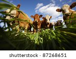 Cows on green grass and blue sky with clouds - stock photo