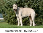 Portrait a nice wolfhound standing in the grass - stock photo