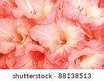 Beautiful pink gladiolus as nature flowers background - stock photo