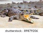 portrait of crocodiles in a farm, Thailand - stock photo