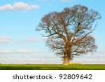 english oak stands proud in countryside - stock photo