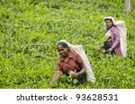 NUWARA ELIYA, SRI LANKA - DECEMBER 8: Two unidentified Indian women pick in tea leaves between green tea bushes on December 8, 2011 in Nuwara Eliya, Sri Lanka. - stock photo