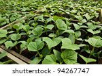 close up of small zucchini growing inside a greenhouse - stock photo