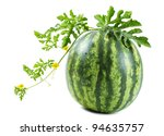 Watermelon on a vine isolated on white background - stock photo