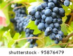 Bunche of blue grapes on vine at sunset time - stock photo
